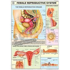 Female Reproductive System Chart Nck Female Reproductive System Chart