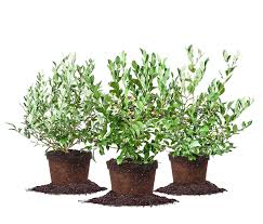 Assortment Of 3 Blueberry Bushes For Best Cross Pollination