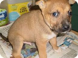 german shepherd boxer mix puppies. Unique German Sylva NC  German Shepherd Dog Meet ShepherdBoxer Litter A Dog For  Adoption Inside Boxer Mix Puppies