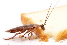 indian summers are hot cockroach infestations will increase