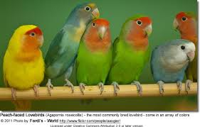 Lovebird Color Mutations Chart Peachfaced Or Rosy Faced Lovebirds Beauty Of Birds