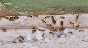 ants in bathroom. Ants In Bathroom