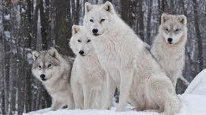 background full hd 1080p 1920x1080 wallpaper wolf gr leaves face eyes