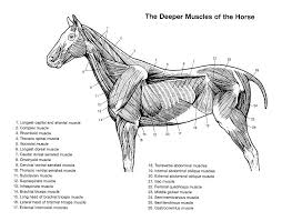 Equine Spinal Diagram List Of Wiring Diagrams