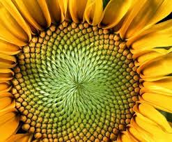 Sunflower Pattern Adorable Nature Blows My Mind The Hypnotic Patterns Of Sunflowers TreeHugger