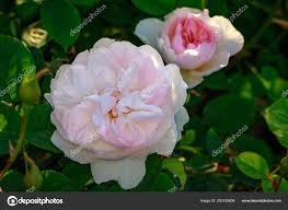 fragrant rose full blossom washington park rose garden portland oregon stock photo