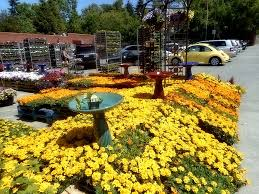 fred meyer garden center. Brilliant Fred Marigold Flowers At Fred Meyer Lake City Way Upper Level Garden Center  Seattle WA  And V