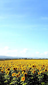 field of sunflowers wallpapers hd wallpapers