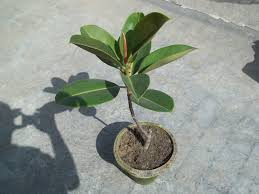Ficus Elastica aka Indian Rubber Plant