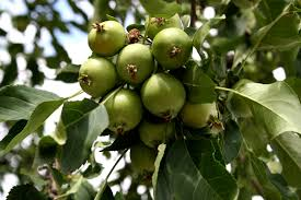 green apple fruit tree. tiny green apples on tree apple fruit a