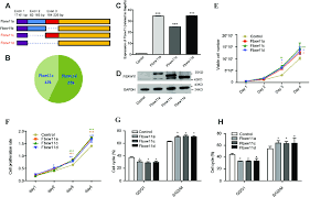 Cell Cycle Pie Chart Fbxw11 Promotes Cell Proliferation In Vitro A Schematic Of