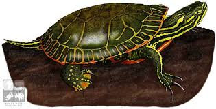 Small Picture Painted Turtle Drawing