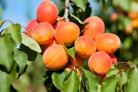 Apricots For Your Baby Health Benefits Recipes And More