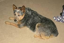 Stumpy tail cattle dog