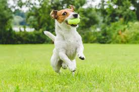 jack russell terrier mixed breeds. Jack Russle Catching Ball And Russell Terrier Mixed Breeds