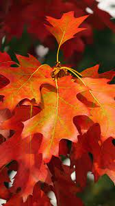 wallpaper 1350x2400 leaves, autumn, red ...