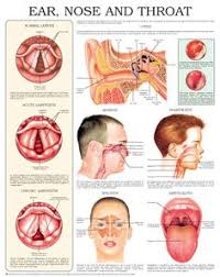 29 Best Ent Ears Nose Throat Images Ear Anatomy Throat