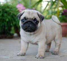 really cute pug puppies. Fine Pug Cute Pug Puppy Puppies Really Pugs Dogs To Puppies