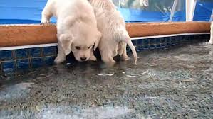 golden retriever puppies swimming. Perfect Retriever Retriever Puppies Go For Their First Swim  Daily Mail Online For Golden Puppies Swimming E