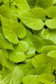 Light Green Sweet Potato Vine Proven Accents Sweet Caroline Sweetheart Lime Sweet Potato Vine Ipomoea Hybrid