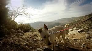 Pola the canaan mix female dog - YouTube