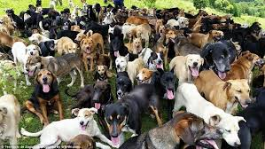 lots of dogs together. Beautiful Lots Happy Hounds The Dogs Enjoy The Free Rein Of Estate  And Can Also In Lots Of Dogs Together