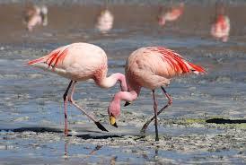 <b>Flamingo</b> - Wikipedia