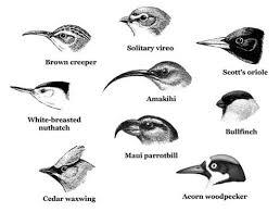 Bird Beak Chart Different Types Of Bird Beaks Birds Animal Drawings