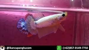 Toko Ikan Cupang Terdekat Dari Sini