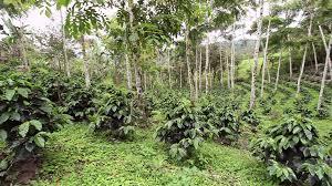 shade grown coffee plantation. Interesting Grown Young Coffee Bushes In A Shadegrown Organic Plantation Ecuador  Stock Video Footage  Videoblocks In Shade Grown Coffee Plantation O