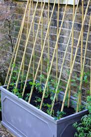 Kitchen Garden Sprouter 17 Best Ideas About Growing Peas On Pinterest Pea Beans Squash