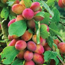 Isfahan Quince Trees For Sale  Order OnlineIranian Fruit Trees