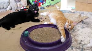 Crazy <b>Cat Playing</b> with Favorite <b>Toy</b>! - YouTube