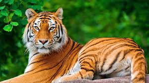 Image result for indian tiger images