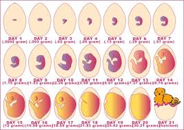Embryo Chart Growth Chickscope 1 5 Resources From Egg To Chick