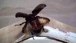 カブトムシ メス 飛ぶ