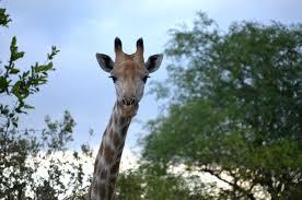 giraffes in south africa a photo essay travel yourself giraffe 05
