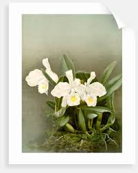 cattleya trianae alba by f sander