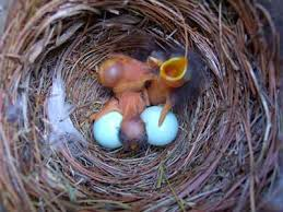 eabl hatchlings photo by bet zimmerman