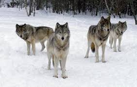 gray wolf pack playing. Wonderful Playing After Killing Their Prey Wolves Became Aggressive While Eating On The Other  Side Wild Dogs Share Quiet Calmly Throughout Gray Wolf Pack Playing