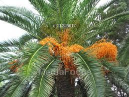 Palm Tree With Bright Orange Fruits  Stock Photo DT21226017Palm Tree Orange Fruit