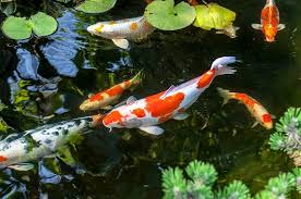 The Ultimate Koi Fish Care And Pond Guide Fishkeeping World
