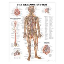 Laminated Anatomical Charts Anatomical Chart Nervous System Chart Laminated