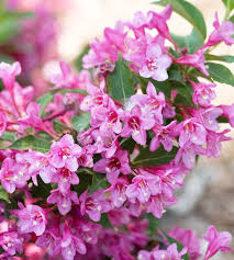 Proven Winners 45 In Qt Infinitini Magenta Crapemyrtle Shrub With Pink Flowers