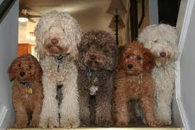 Small Picture Ocean State labradoodles Breeder of Authentic Australian Multi