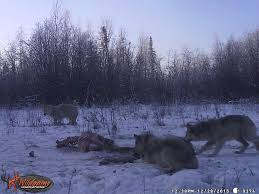 6 DAY WOLF HUNT FOR 2 HUNTERS - NORTHERN ALBERTA