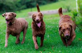 what does a chesapeake bay retriever look like chesapeake bay retriever dogs and puppies