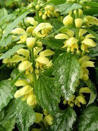 Lamiastrum galeobdolon -- Bluestone Perennials