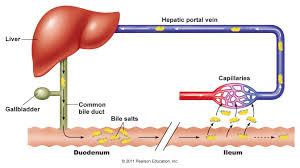 bile flow bacteria and chronic