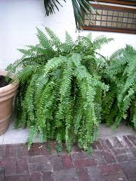 boston fern in a ground container
